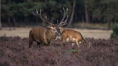 Deer Veluwe NP (cjwveldkamp) Tags: deer nature netherlands veluwe rutting edelhert wildlife animal