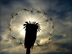 Old dandelion (janne.skei) Tags: dandelion old seeds sky clouds cloud blue nature outdoor background silhouette dewdrops dew drops waterdroplets water magic moment minimalistic macro closeup close panasonic lumix lumixfz200 light fz200