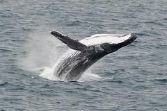 Humpback Whale (North Sea Wildlife Trusts) Tags: humpback whale coast spurn yorkshire marine mammal megaptera novaeangliae north sea
