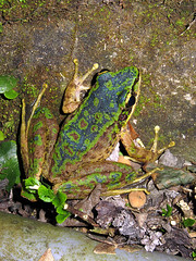 Odorrana swinhoana (wattanumpty) Tags: blue torrentfrog taiwan colourful frog