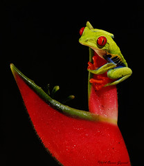 Red-eyed Tree Frog  6422 (Bonnieg2010) Tags: redeyedtreefrog redeyes frog amphibian treefrog wild nature costarica night macro forest cute redtoes bonniegrzesiak