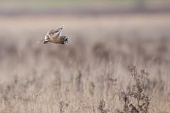 Short Eared Owl (Bob G2007) Tags: birds cambridgeshire europe places shortearedowl unitedkingdom wickenfen nature