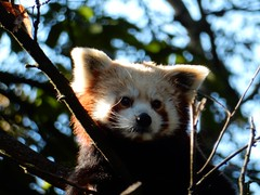 Red Panda (talktomsi) Tags: panda nature natural tree red colour hiding catchy supershot nikon s9900 nose eyes looks sunshine light animal new