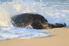 Honu and Waves (BattysGambit) Tags: 2016 usa hawaii holiday september fall tropical tropics beach maui paia hookipa park ocean green sea turles turtles honu hawaiian canon dslr 7d