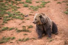 BEAR2 (Aitzol Arruabarrena) Tags: cabarceno d800 tokina 300 animals animaliak