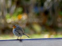 blur (BrigitteE1) Tags: blur rotkehlchen robin vogel bird helgoland heligoland singvogel songbird bunt colourful colorful dof higgledypiggledy blurred bokeh depthoffield specanimal