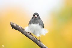 Junco ardois  -  Dark-eyed junco (Maxime Legare-Vezina) Tags: bird oiseau nature wild wildlife animal fauna biodiversity ornithology fall automne quebec canada canon