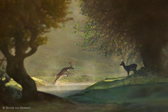 Fairy Tale Fall (hvhe1) Tags: animal nature wildlife wild awd amsterdamsewaterleidingduinen holland thenetherlands waterwingebied dunes fairytale mystic mist fog sunrise fallowdeer damhert damhirsch damadama daim water light fall autumn jump hvhe1 hennievanheerden