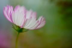 Cosmos (Vincent_Ting) Tags: cosmos 波斯菊 微距 macro 散景 bokeh field taiwan zeiss100mmf2 vincentting closeup 特寫