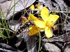 Hoverfly on Hibbertia prostrata (dracophylla) Tags: lyellhighwayeastofderwentbridge tasmania hibbertiaprostrata dilleniaceae hoverfly melangyna syrphidae