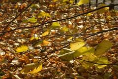 Leaves (Tony Tooth) Tags: nikon d7100 tamron 2470mm leaves autumn fall churchyard leek staffs staffordshire