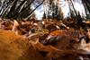 (bortozz) Tags: rana temporaria ranatemporaria asiago altipiano gallio wideanglemacro 1017tokina flash macro fagus autumn