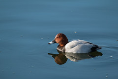 Pochard (Aythya ferina) (Mibby23) Tags: pochard aythya ferina duck bird wildlife nature tring reservoir water reflection canon 70d sigma 150600mm contemporary