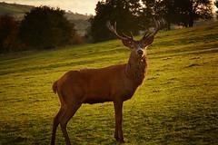 Red Deer (chrisduncash) Tags: reddeer red deer stag rut bristol sunset autumn