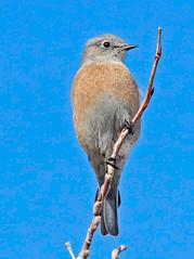 CAD0005166a (jerryoldenettel) Tags: 2016 bluebird calleloma nm passeriformes santafe santafeco sialia sialiamexicana turdidae westernbluebird bird passerine