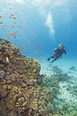 Hamata Island (ibisegypttours) Tags: scuba diver diving sport recreation recreational travel tourism vacation holiday tropical coral reef fish marine sea ocean wildlife life underwater blue clear snorkeling snorkelling surface