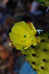 Figue de Barbarie* (AlexGinger) Tags: figue de barbarie flower yellow