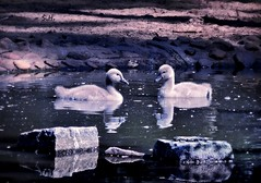 Just the two of us... (pianocats16, miau...) Tags: cygnets black swan babies cute water zoo lake