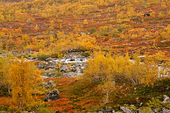 **Autumn Melody** (**klaracolor**) Tags: gamlestrynefjellsvegen canon canon40d klara klaracolor klarathomas landscape nature tree trees yellow red green rock rocks orange fall autumntree autumntrees autumn river water fylkesvei258 route258 norway norge noorwegen