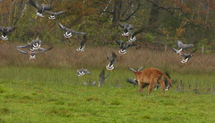'Ha, say goodbye to your peaceful scene!' (joeke pieters) Tags: 1310216 panasonicdmcfz150 gans ganzen goose geese heckrund heckrind kalf calf kalb burlovardingholtervenn landschap landscape landschaft paysage herfst herbst autumn fall automne