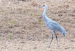 Sandhill  Crane (rpennington9) Tags: birds cranes aquaticbirds sandhillcranes tennessee birchwood nikon nikond90 sigma150600mmlens