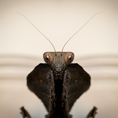 mantid mirrored (felt_tip_felon) Tags: mantis mantid prayingmantis insect bug creepycrawly predator raptors reflected mirrored