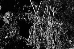 (Mr Richie) Tags: panasonic lumix lx5 digital monochrome bw blackandwhite garden film grain night filmgrain