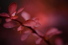 Romantik (ChristinaWieck) Tags: rot herbst farbe november nikon 105mm natur romantik