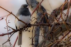 Dark Eyed Junco (Explored) (soupie1441) Tags: london ontario canada nikon d7200 nikkor 200500mm dark eyed junko tree perched nature wild life wildlife