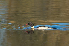 Goosander  Mergus merganser (keith.gallie) Tags: goosander mergus merganser sawbill water bird pennington leigh
