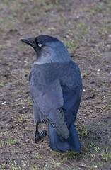 jackdaw (MaggyN) Tags: jackdaw corbusmonedula blackfordpond blackford edinburgh corvid bird