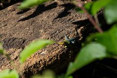 Lagartija esbelta (Pablo Retamal Venegas) Tags: lagartija lagarto lagartijaesbelta regindelmaule chile vichuqun