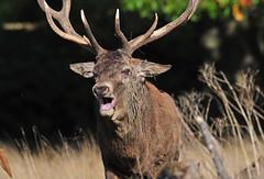 Looming large... (Ian A Photography) Tags: animals animalbehaviour britishanimals deer mammals nature nikon reddeer richmondpark rut stag ukwildlife wildlife goldwildlife