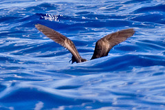 _MG_0710 Wedge-tailed Shearwater (Ardenna pacifica) (ajmatthehiddenhouse) Tags: 2015 australia qld bird wedgetailedshearwater puffinuspacificus queensland ardennapacifica