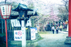 Japan Kyoto . . Hirano Shrine   .  DSC_5679 (Ming - chun ( very busy )) Tags: road travel flower japan cherry nikon kyoto shrine blossom 85mm   cherryblossom  sakura nikkor f18      hdr d800           85mmf18   traveljapan  hirano   f1885mm sukura nikon85mmf18    nikon85mm18
