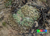 Torch anchor coral (Euphyllia glabrescens) (wildsingapore) Tags: nature island marine singapore underwater wildlife coastal shore intertidal seashore marinelife cnidaria wildsingapore glabrescens euphyllia scleractinia euphylliidae terumbusemakau