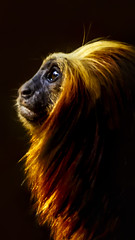 Golden-headed lion tamarin (Leontopithecus chrysomelas), Mico-leo-de-cara-dourada (endangered species) (Clovis Camozzi) Tags: brazil cute nature beautiful animal closeup canon photography gold monkey mono cool pretty sweet ngc naturallight dourado macaco mico tamarin endangeredspecies animalportrait leontopithecuschrysomelas extino goldenheadedliontamarin micoleodecaradourada 700d t5i