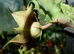 Huernia zebrina N.E.Br. flower detail (Skolnik Collection) Tags: flower detail succulent subsp huernia zebrina magniflora skolnik