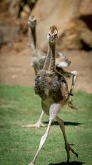 SDZSP 098-1 (craigchaddock) Tags: safaripark westafricancrownedcrane balearicapavoninapavonina sandiegozoosafaripark