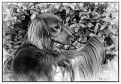 IMG_6425a - Gonzo (Arne J Dahl) Tags: blackandwhite dog dogs animal canon bokeh outdoor dachshund depthoffield hund frame longhaireddachshund gravhund canon5dmarkll langhretgravhund