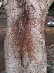 Albero di strada (vincenzo martorana) Tags: aspra alberofica