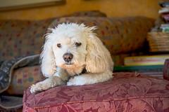 Bed Head (aivzdogz) Tags: dog pet pets cute dogs animal animals mutt mix fluffy indoor spaniel bichon frise cocker