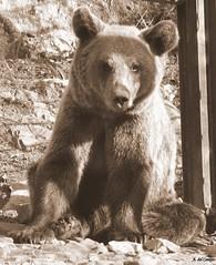 Osezna (A. del Campo) Tags: bear naturaleza nature animal animals sepia monocromo nikon natural naturallight asturias animales nikkor sendadeloso osa osos principadodeasturias osezna nikond3000