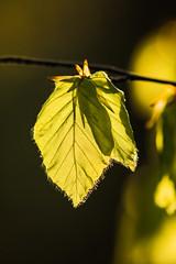 Frhlingserwachen (Seahorse-Cologne) Tags: leaf spring natur bltter frhling zweige