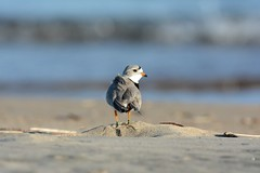 Piping Plover (U.S. Fish and Wildlife Service - Midwest Region) Tags: mi michigan greatlakes endangered pipingplover endangeredspecies pipingplovers