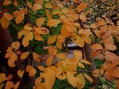 ACH02 D11 (2015 Plant Records Photos) Tags: fallcolor nyssa d11 lateoct ach02