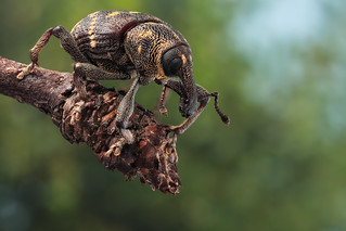 Plantation pest