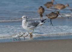 Mew with Sanderlings (byjcb) Tags: california birds unitedstates gull salinas