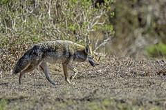 Coyote #48 (lennycarl08) Tags: california animals wildlife marincounty animalplanet pointreyesnationalseashore goldengatenationalrecreationarea