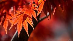 Autumn leaves... (SteffPicture) Tags: autumn nature leaves ilovenature herbst blatt naturebokeh steffpicture